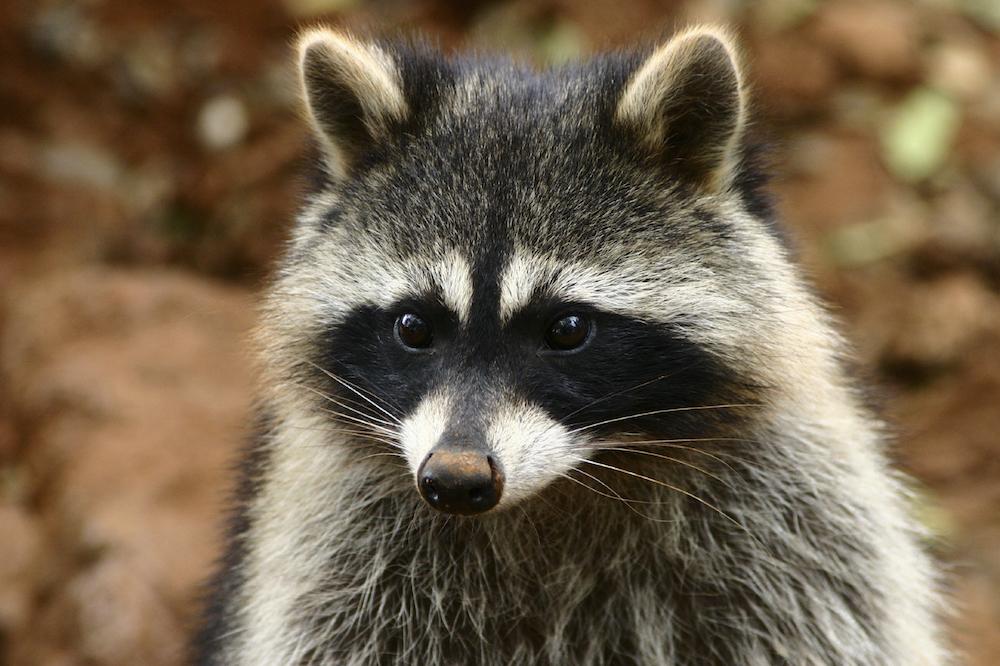 Raccoons Identification Environment Threats Treatment
