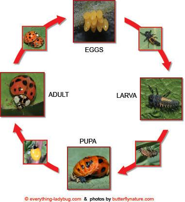 ladybug-life-cycle