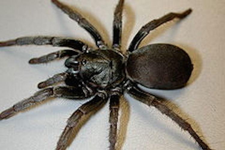 A trapdoor spider on white tile floor