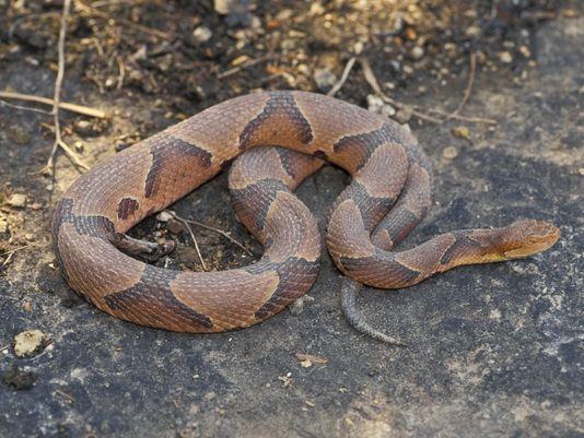Copperhead Snake on a rock