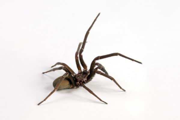 Crevice Spider
