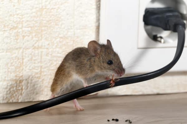 Mouse vs Rat