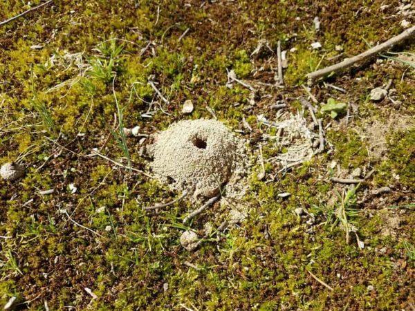 Digger Bee Mound